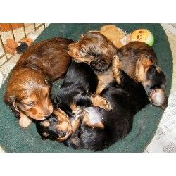 Dachshund Puppies For Sale Dachshund Puppies For Sale