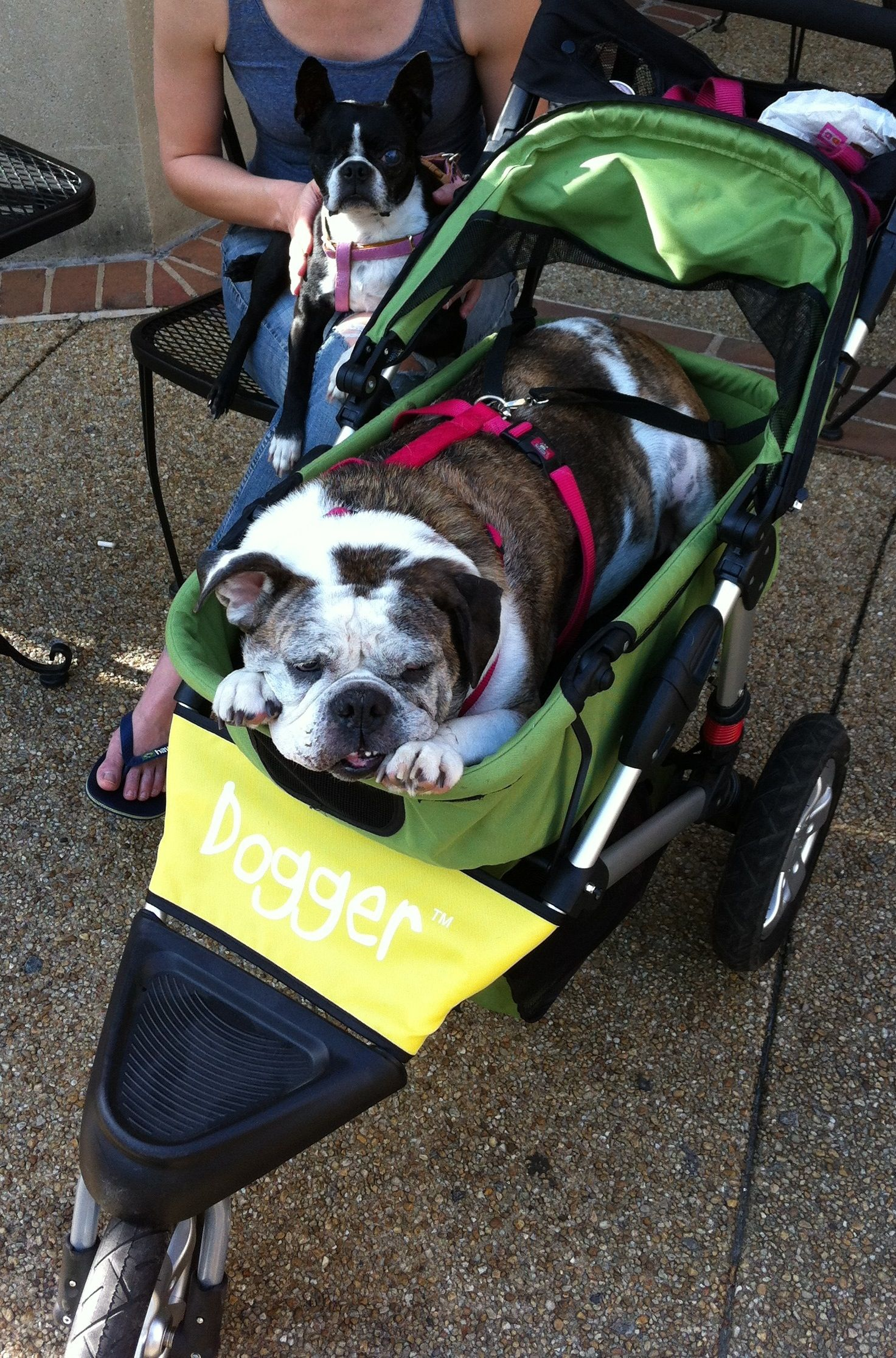 Quot Here Is A Pic Of Ponchatoula In Her Dogger With Her One Eyed Boston Terrier Sister Winky She