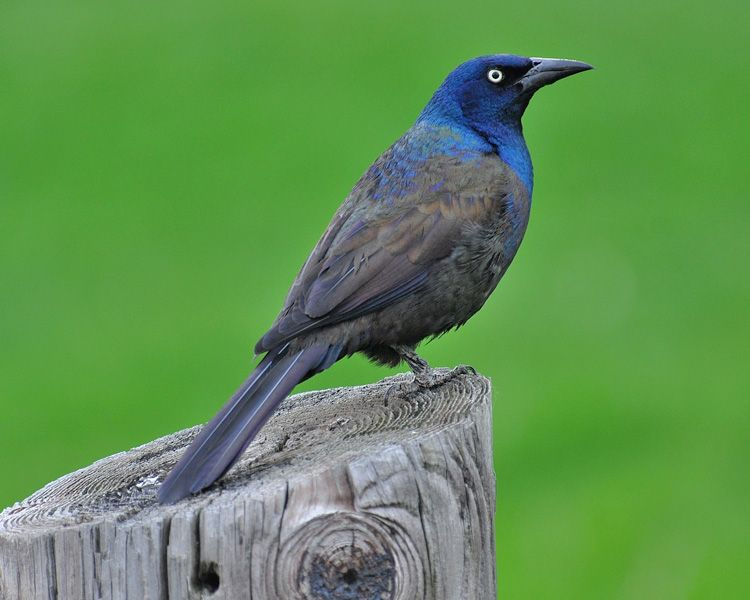 Quiscalus quiscula; Common Grackle