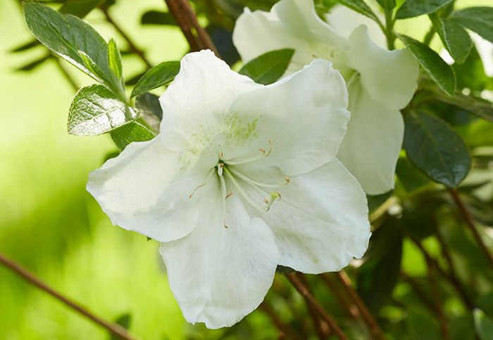 Pleasant white azalea bright white flowers pop against this azaleas discover the power of azaleas white azaleawhite flowerslandscaping mightylinksfo Images