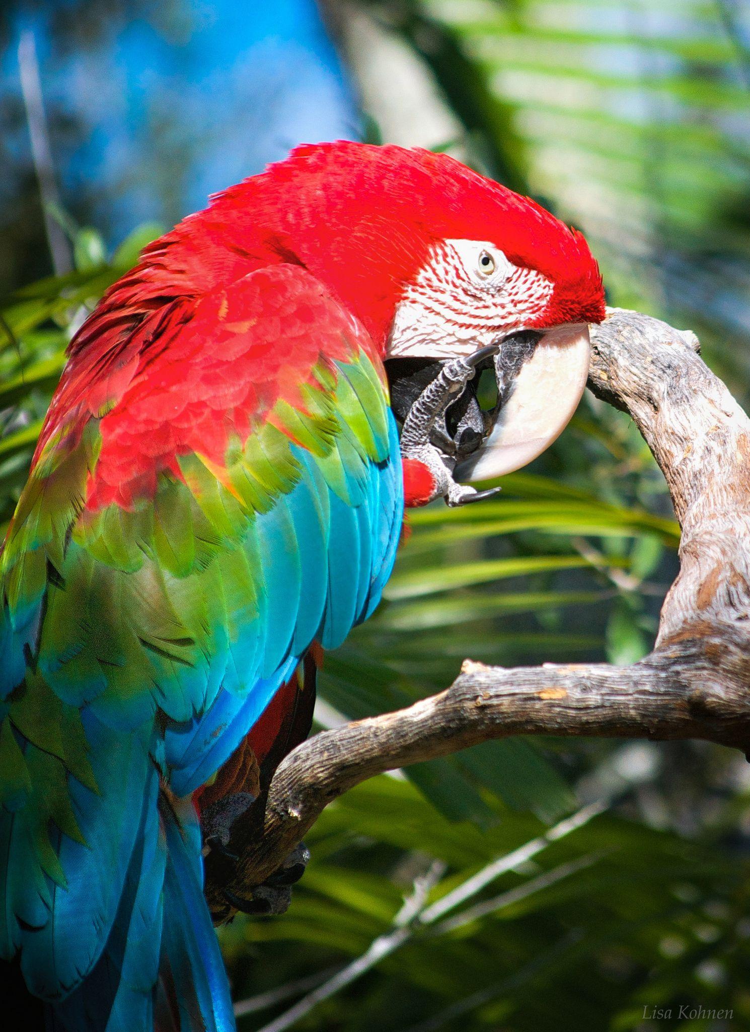 Scarlet Macaw Macaw Animals Scarlet