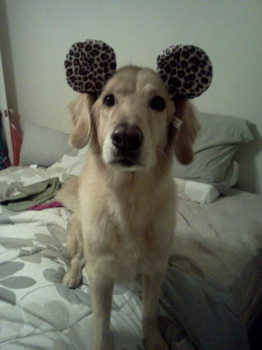 Noah Gets Into The Disney Spirit Golden Labrador Golden