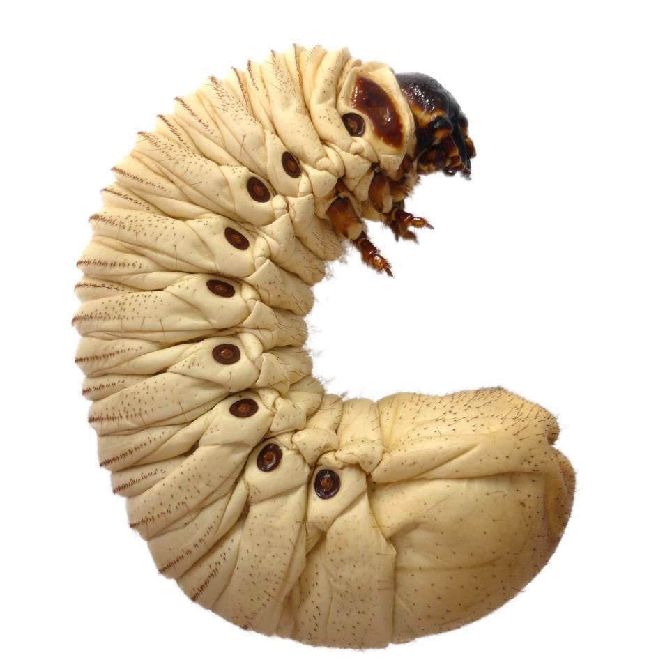 Mecynorhina torquata ugandensis.