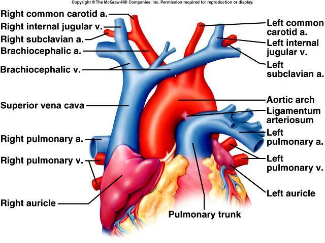 great vessel anatomy - Google Search (With images) | Emt ...