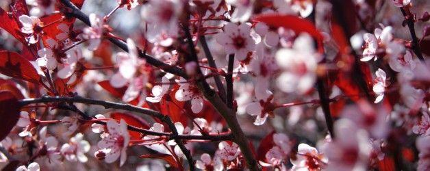 Michigan Landscape Blog Michigan Spring Trees In Bloom Spring Tree Michigan Trees Bloom