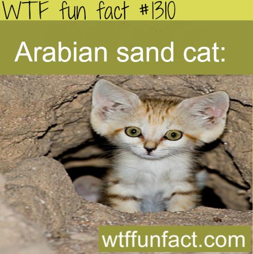Arabian sand cat WTF FUN FACTS Weird facts, Animal