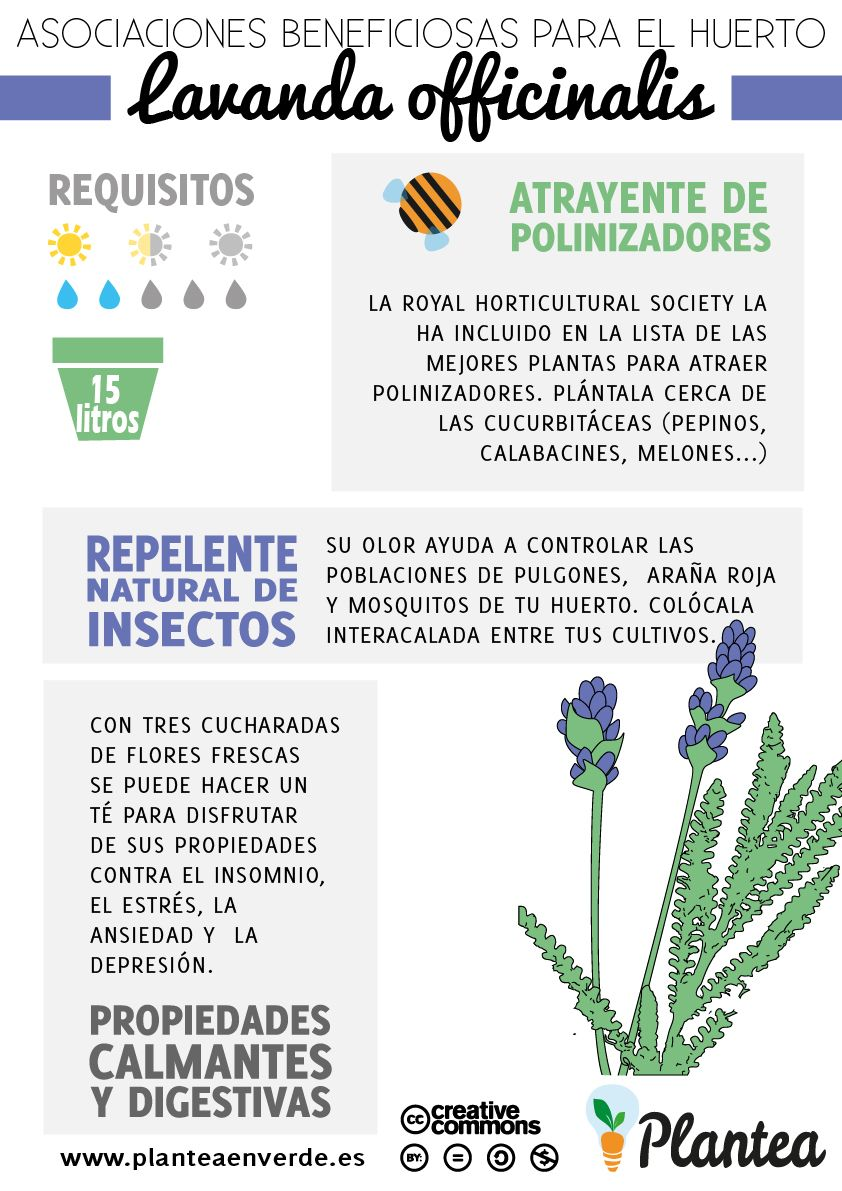 Asociaciones beneficiosas para el huerto lavanda - Planta lavanda cuidados ...