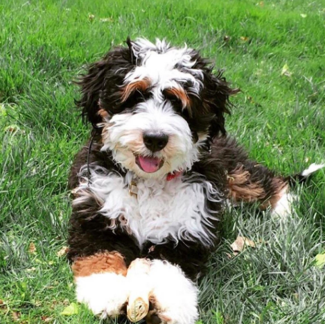 Good Breeder Sugarberry Bernedoodles Bernedoodle Puppy Bernedoodle Pretty Dogs