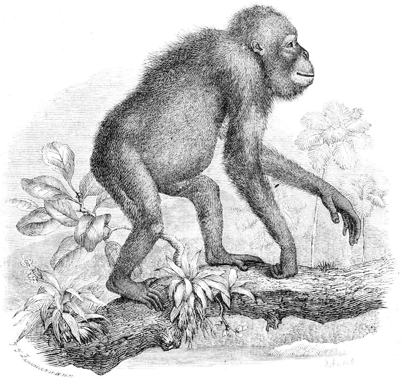 Uncategorized Orangutan Drawing orangutan drawing beautiful pencil of a monkey orangutan