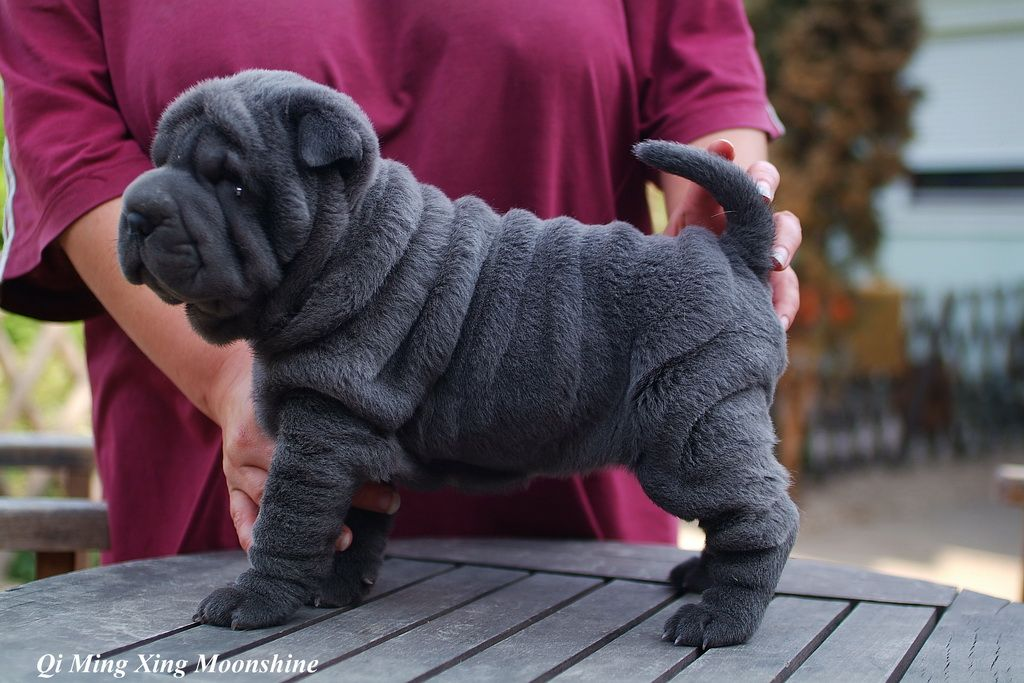Wrinkly Dog Shar Pei Puppies Cute Animals
