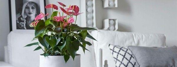 (Anthurie): wichtige Infos und praktische Pflegetipps! trendblume anthurie flamingoblume als zimmerpflanze pflegentrendblume anthurie flamingoblume als zimmerpflanze pflegen