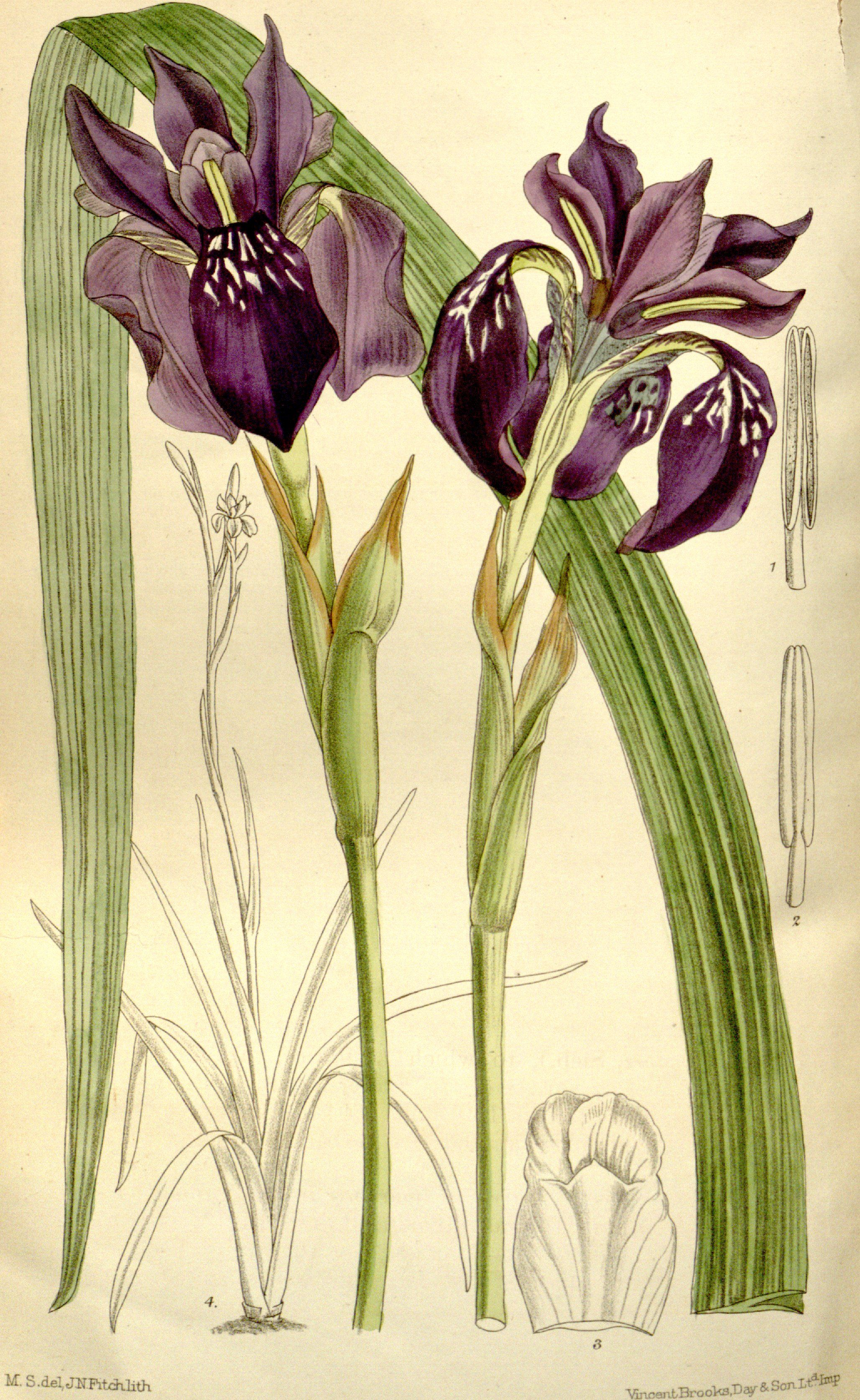 Iris delavayi circa 1899 iridaceae the iris family pinterest iris delavayi circa 1899 izmirmasajfo
