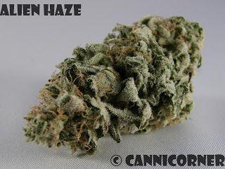 Alien Haze (Alien OG x Haze) | Cannabis | Cannabis, Weed, Herbs