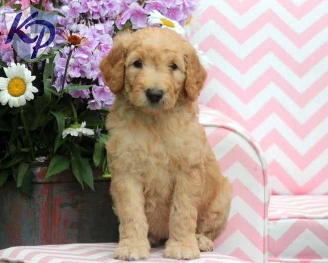 Puppy Finder Find Buy A Dog Today By Using Our Petfinder Puppy Finder Puppies Goldendoodle