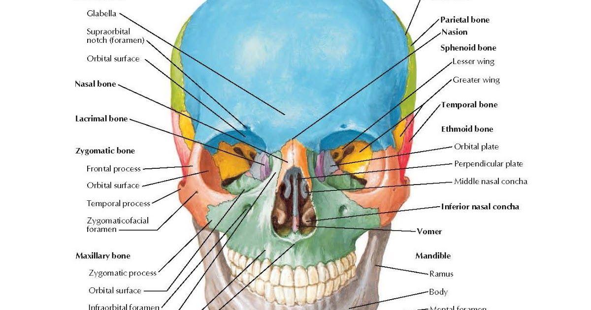 Skull Anterior View Anatomy Frontal Bone Glabella Supraorbital
