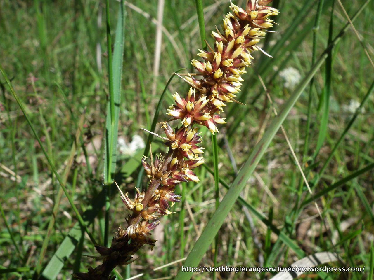 Spiny Headed Mat Rush Lomandra Longifolia Lomandra Seed Pods Wild Flowers