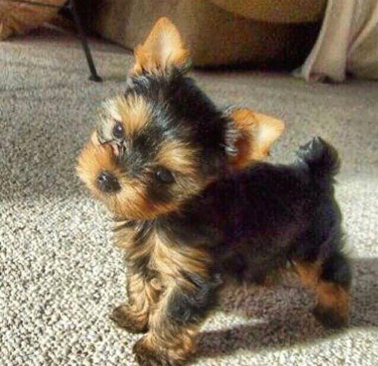 Pin By Sharrie Page On Yorkshire Terriers Yorkie Puppy Teacup Yorkie Puppy Yorkshire Terrier Dog