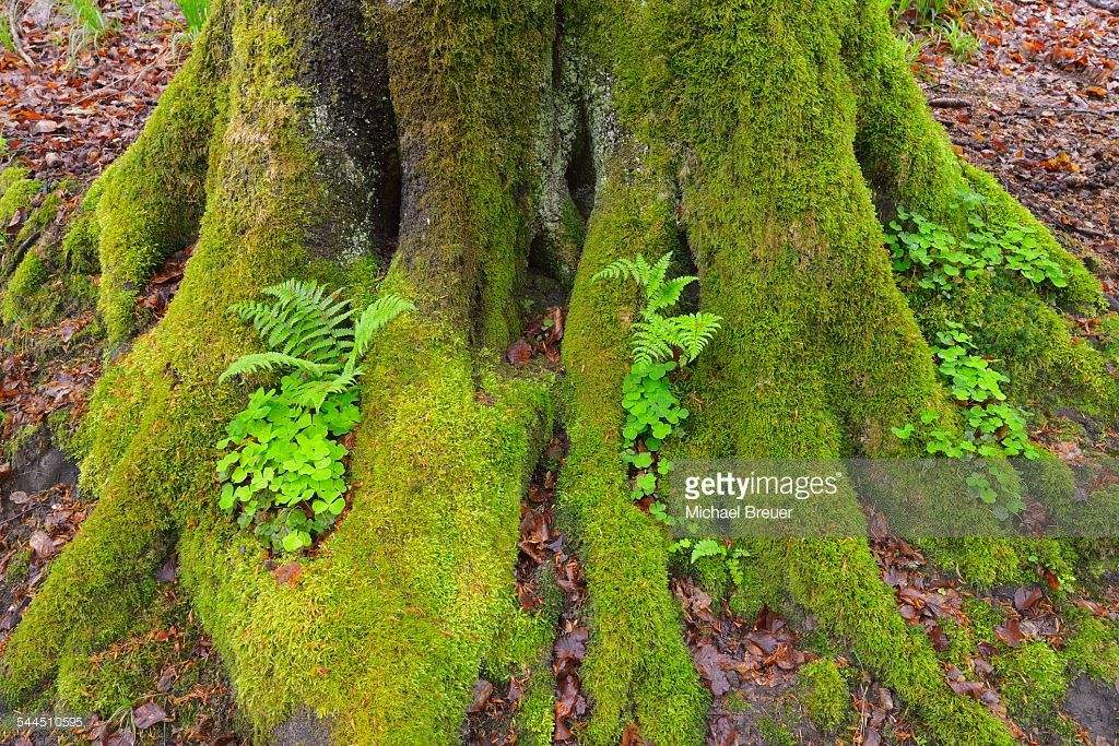 Best Mossy European Beech Tree Trunk With Ferns And Shamrocks 400 x 300