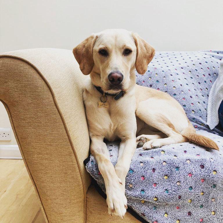 #pupandhoundmodels #dogsofinstagram #doglovers #labrador