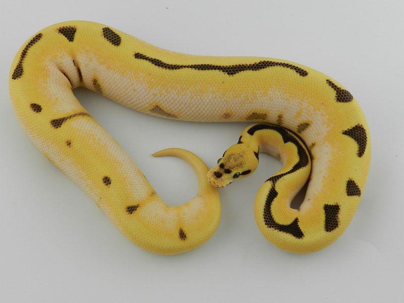 Fire Spider Super Orange Dream Ball Python Reptiles Pinterest