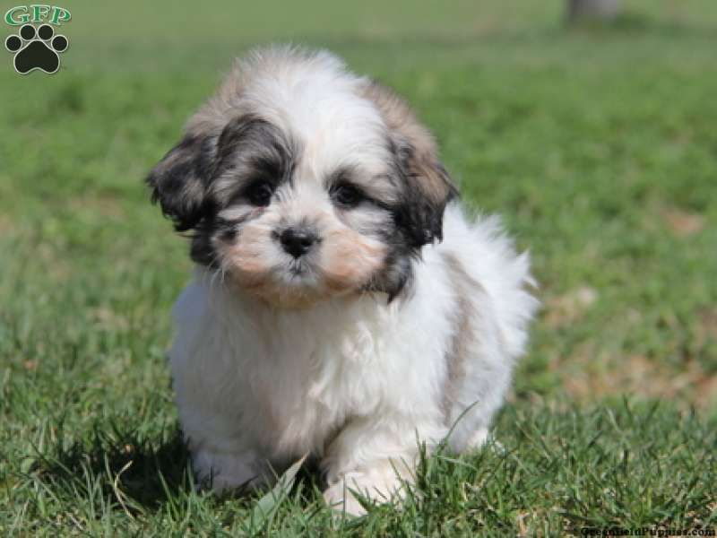 Buster Shichon Puppy For Sale From Belleville Pa Shichon Puppies Puppies Shichon Puppies For Sale