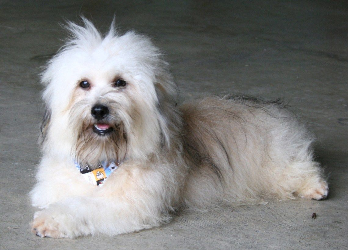 who have Hungarian Imported Havanese Dogs in their breeding stock