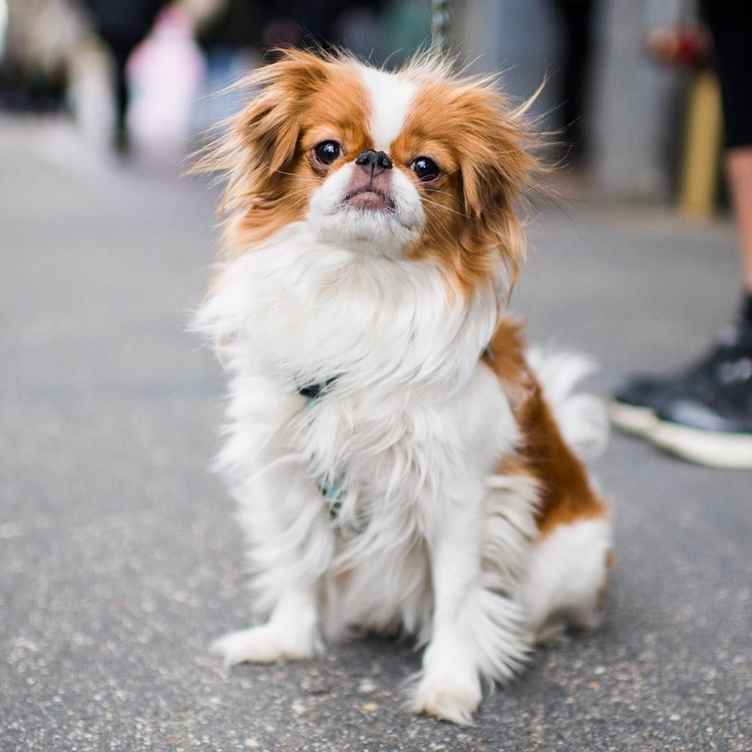 Ginger, Japanese Chin (8 y/o), 23rd & 5th Ave., New York