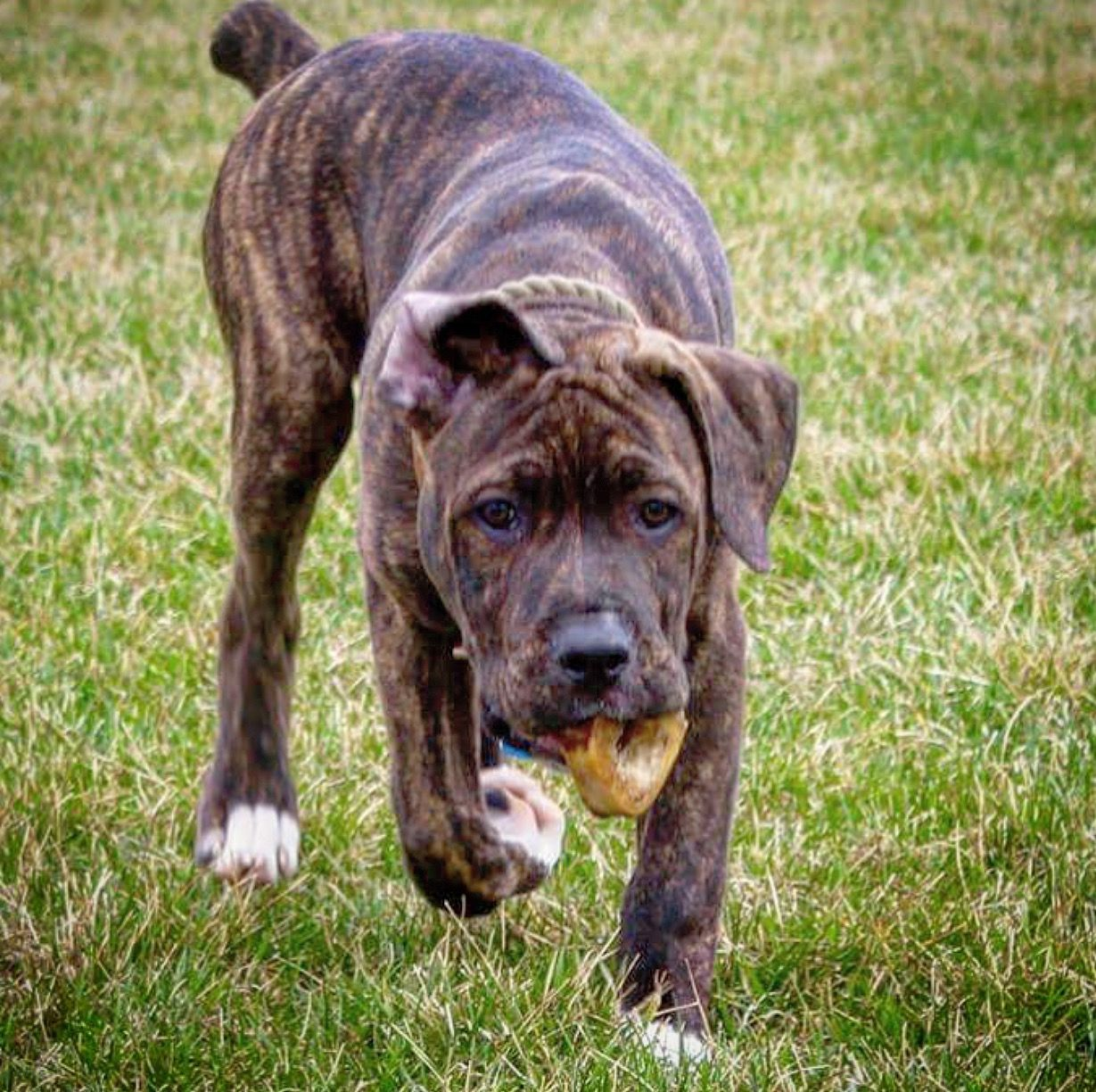 Abel 4 months Cane corso, Dogs, Pup