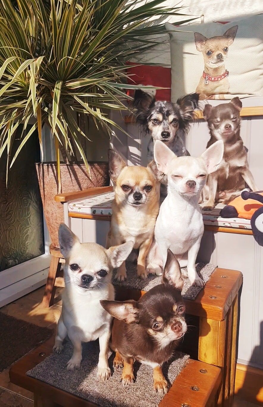 Please Rescue Just Heard Chihuahua S Are The Second Most