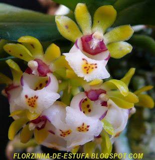 Gastrochilus japonicus                                                                                                                                                                                 Mais