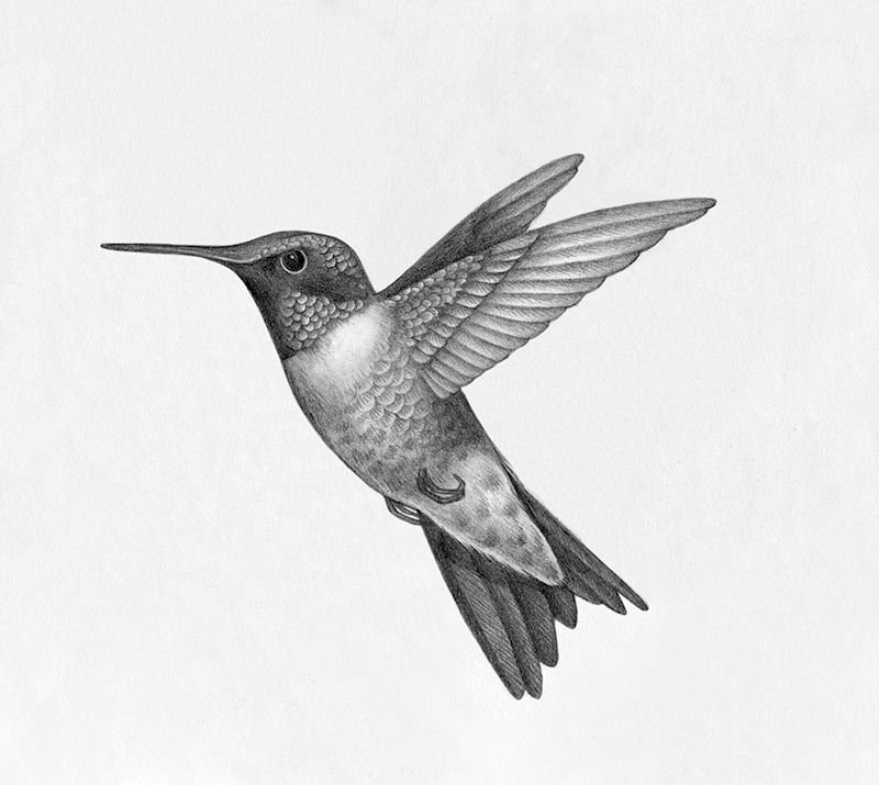Hummingbird. Drawing by Betsy Lyon. Animal medicine