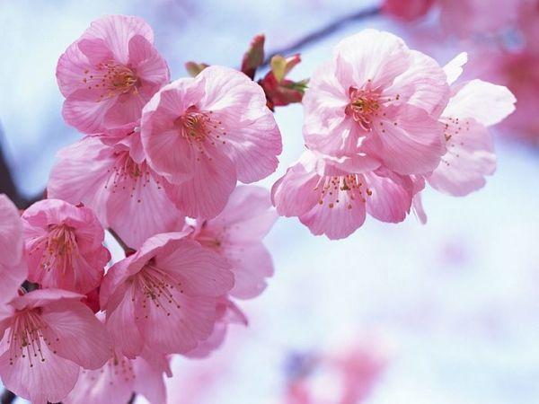 Цветы сакуры: нежность и красота | Красивые цветы, Цветы ...