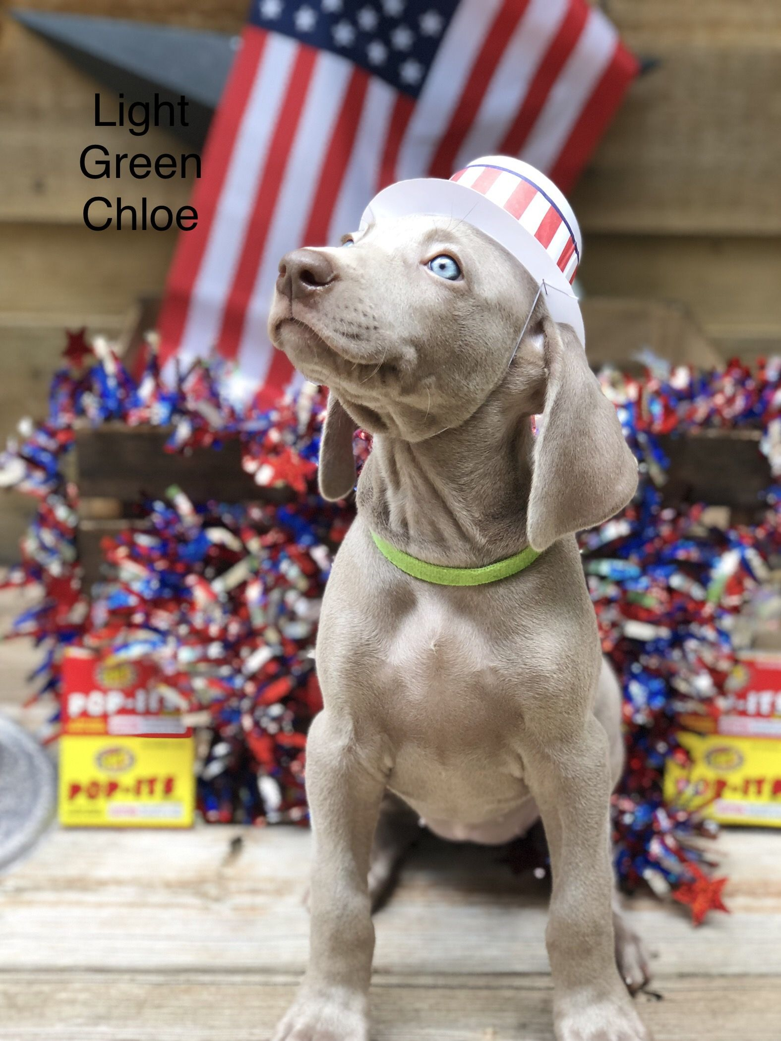 Pin By Puppies4u On Puppies For Sale Weimaraner Dogs Dog