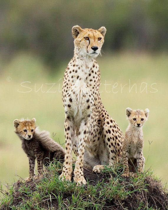 40% OFF SALE - Cheetah Mom & Babies Photograph, 8 X 10 ...