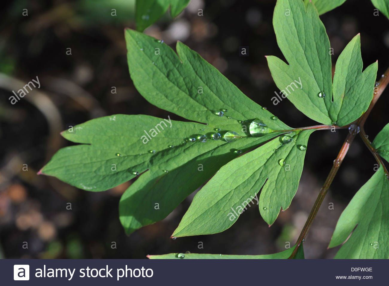 Green Leaves Of A Bleeding Heart Plant With Raindrops Stock Photo Bleeding Heart Bleeding Heart Plant Plants