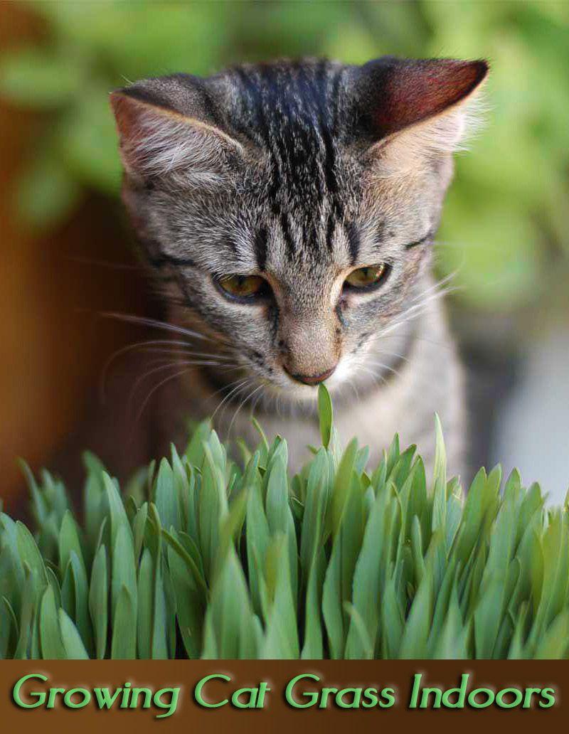 Growing Cat Grass Indoors Cat grass, Cat plants, Cats