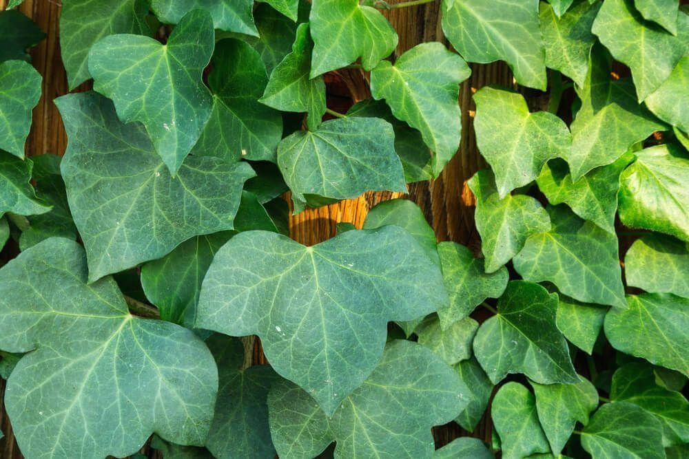 15 Different Types Of Ivy Plus Essential Facts Modern Design In 2020 Types Of Ivy Ivy Plants Ivy Plant Indoor