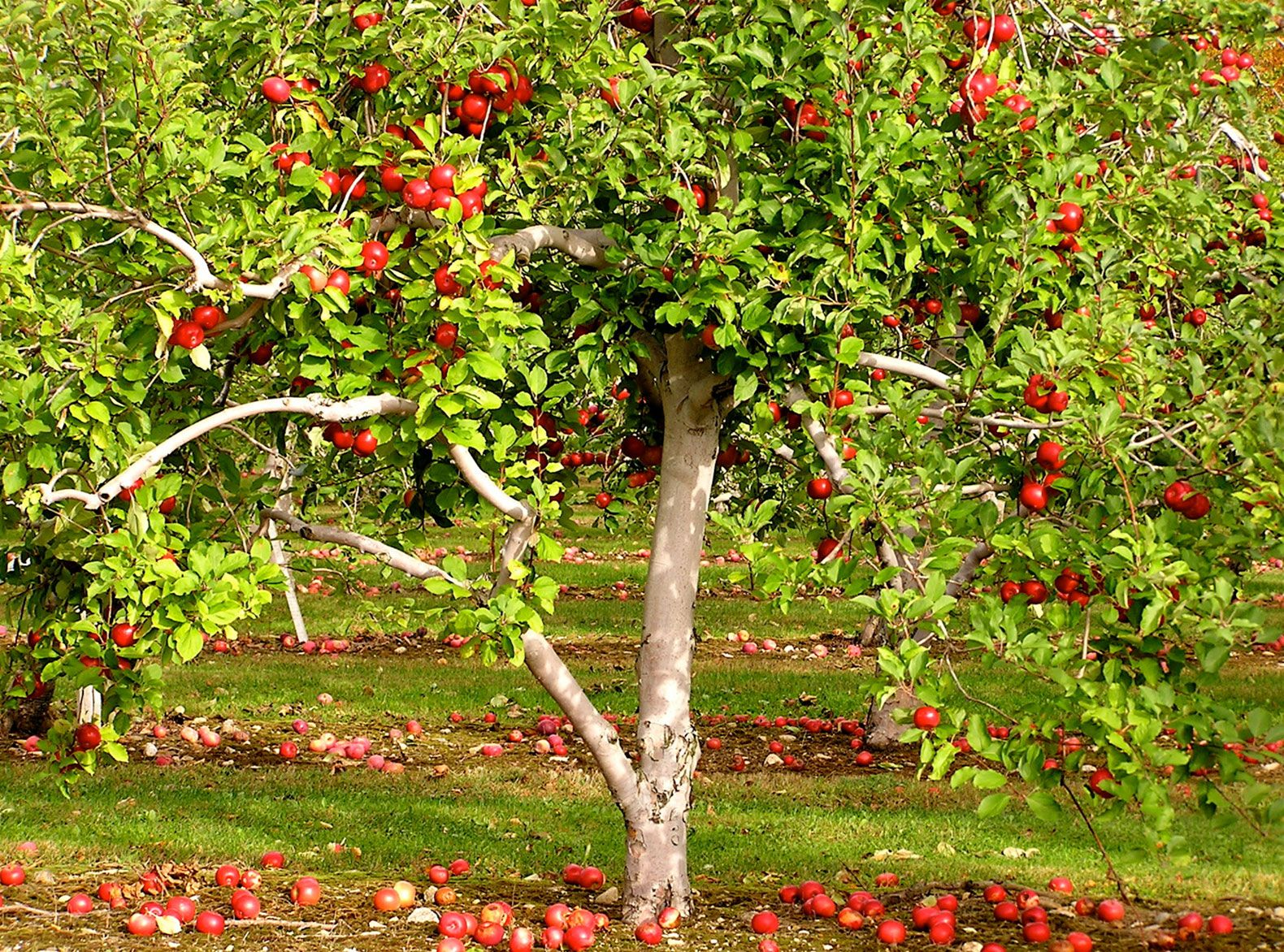 5 surprisingly easy edible gardening projects for spring apple tree