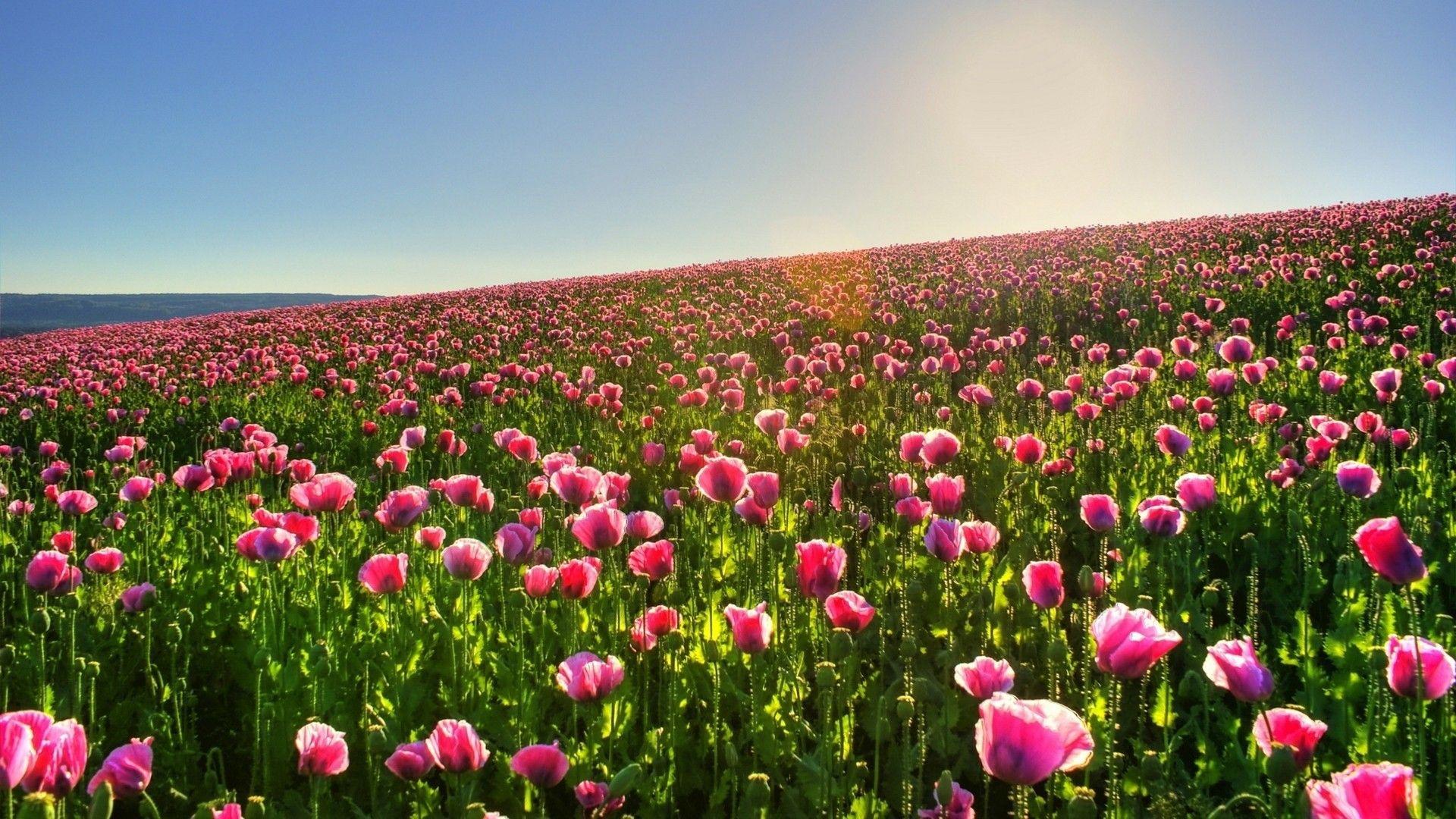 Hillside Field Of Pink Poppy Flowers 1920x1080 Field Pink Poppy