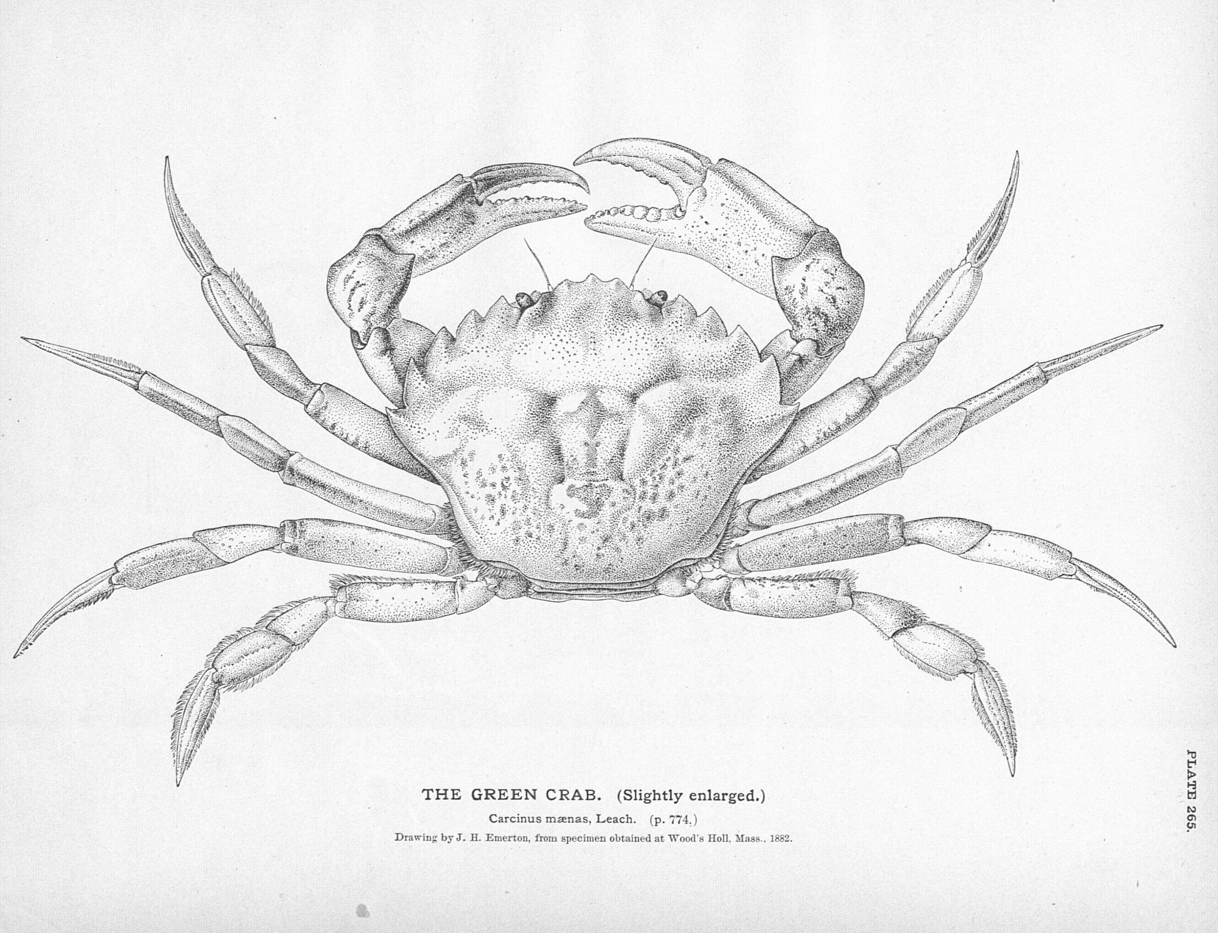 Crab Etching c.1900 | a level exam - crustaceans | Pinterest