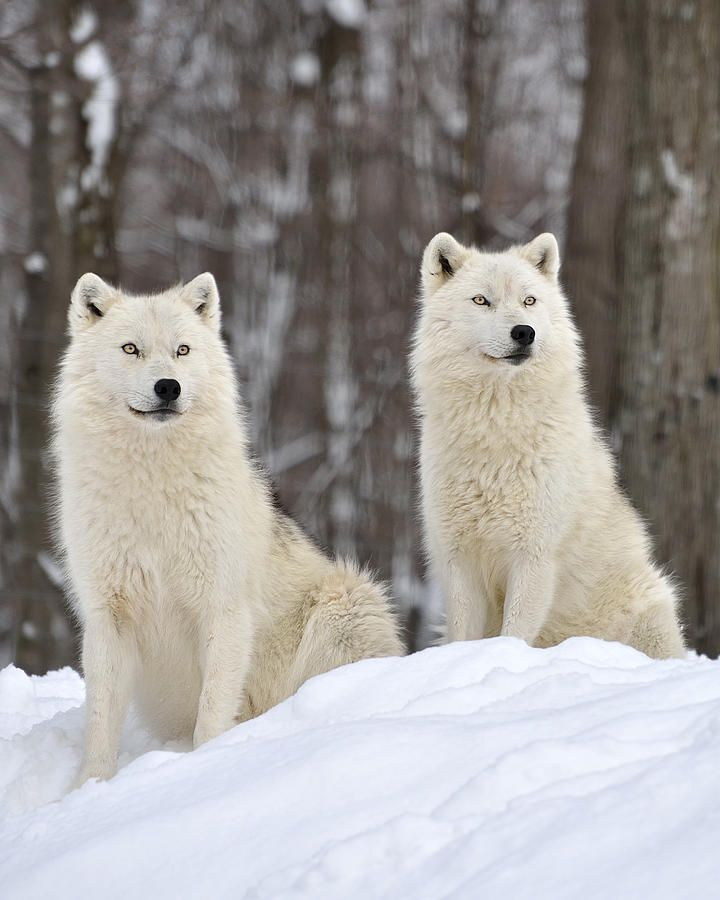 """beautiful-wildlife: """" The Alpha Pair by Joshua McCullough """""""