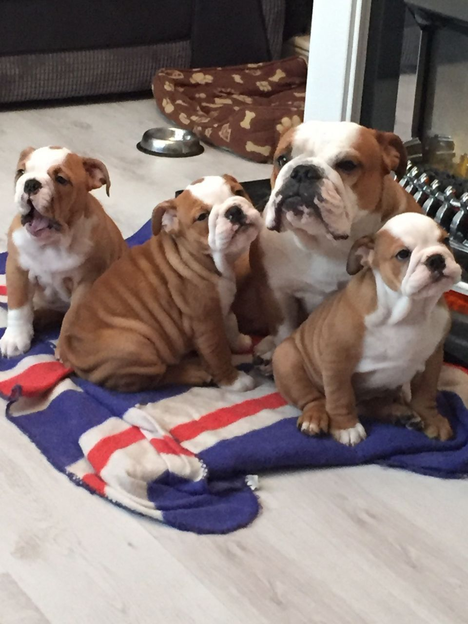 Kc Reg Female English Bulldog Puppy Last One Bulldog Puppies
