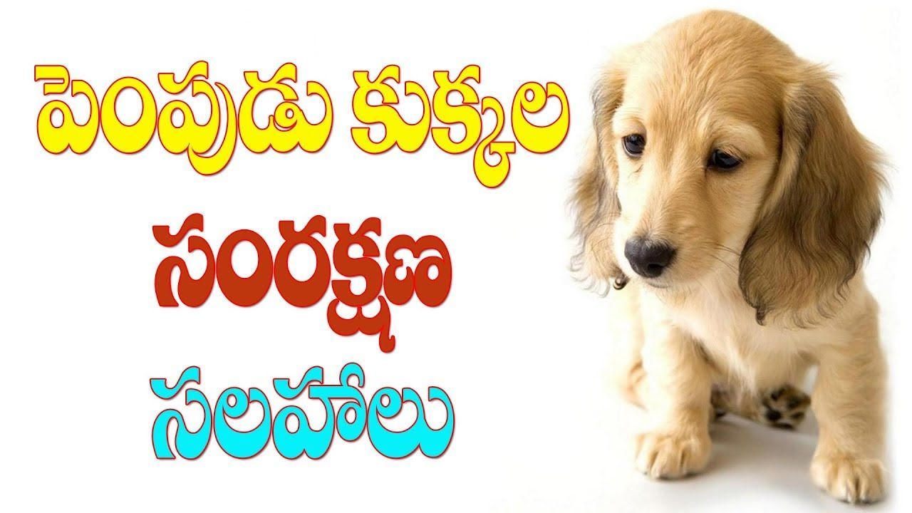 Pet Dog Care And Protect Tips Part 2 Pudami Putra Raj News