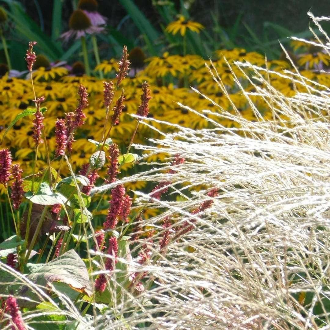Catching Sunlight One Out Of Numerous Qualities Grasses Have Here Posted Sunlight Reflecting On Miscanthus Naturalistic Garden Planting Plan Plants