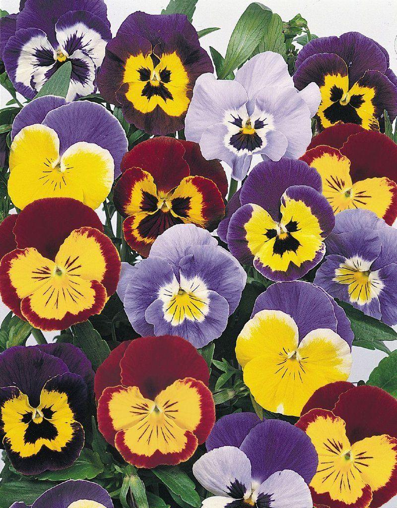 Bulk Seeds Pansy Joker Mix 500 Flower Seeds Flower Landscape Pansies Flower Garden Design