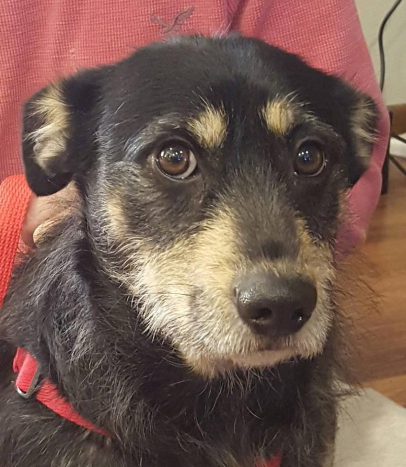 Adopt Elroy on Petfinder Terrier mix dogs, Dogs and