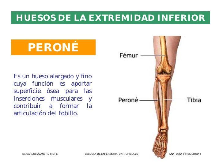 Magnífico Función Del Peroné Embellecimiento - Anatomía de Las ...
