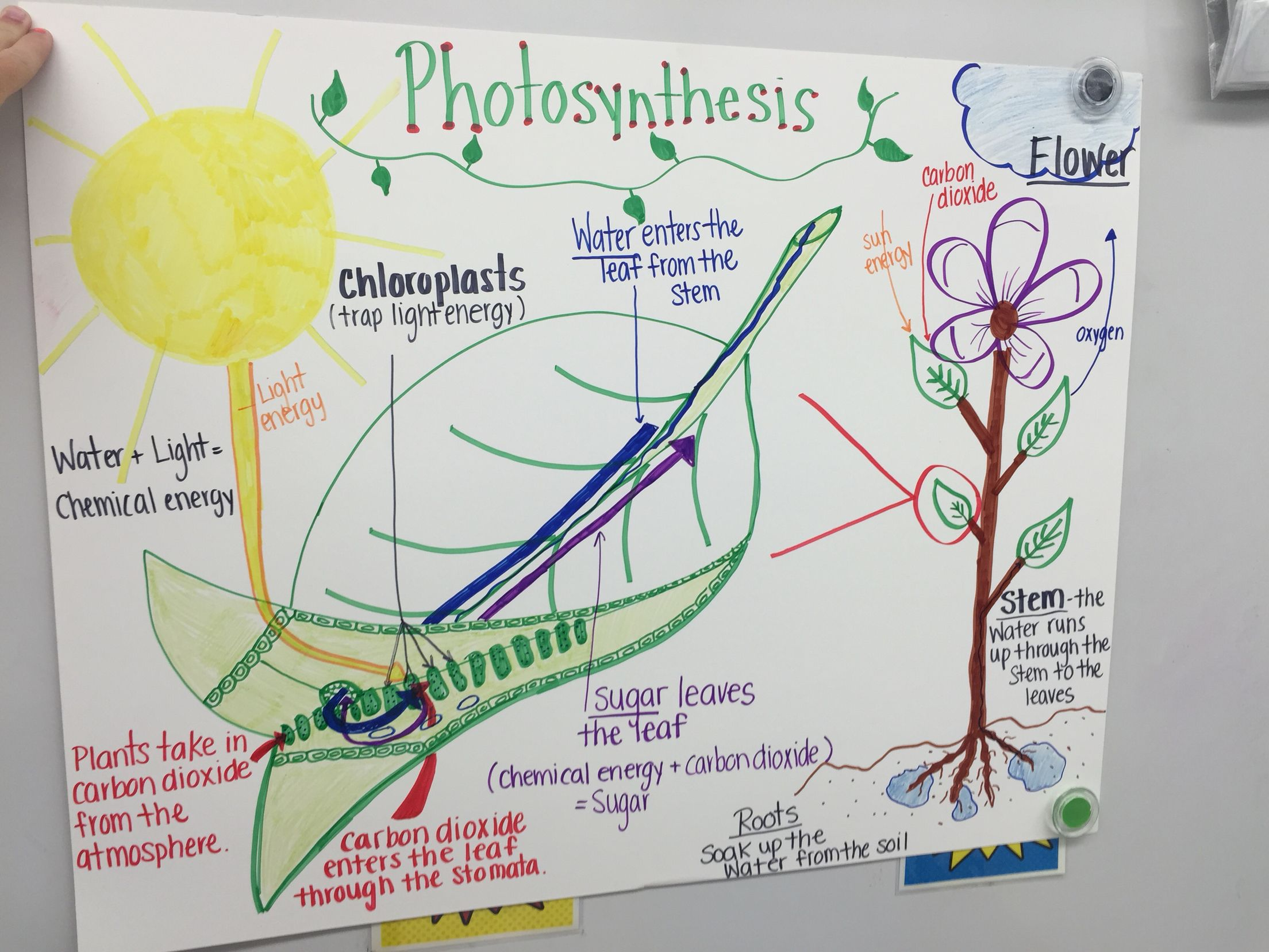 A chart i made on the process of photosynthesis anchor charts a chart i made on the process of photosynthesis pooptronica Choice Image