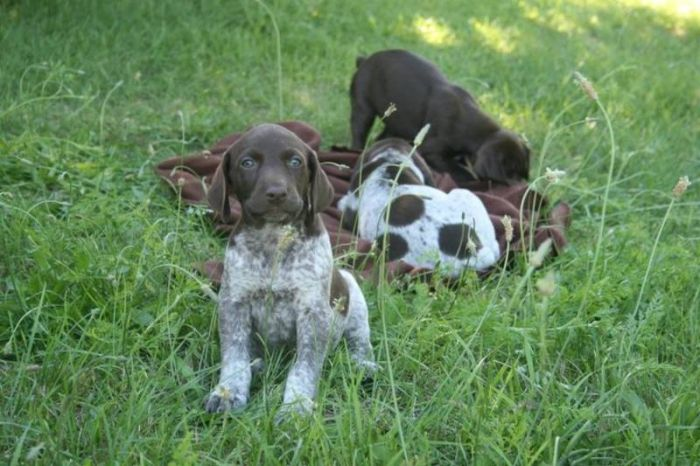 German Shorthaired Pointer Puppies Caza