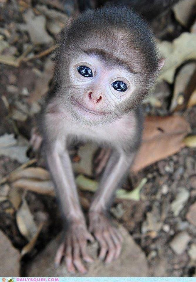 is this the world's cutest baby monkey? tiny grey langur shows his